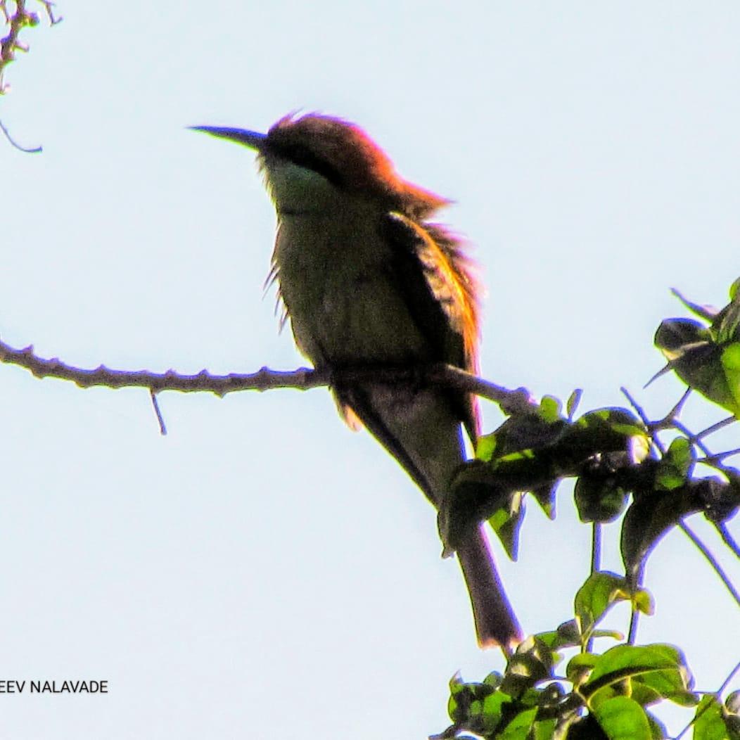 वेडा राघू - Green Bee Eater
