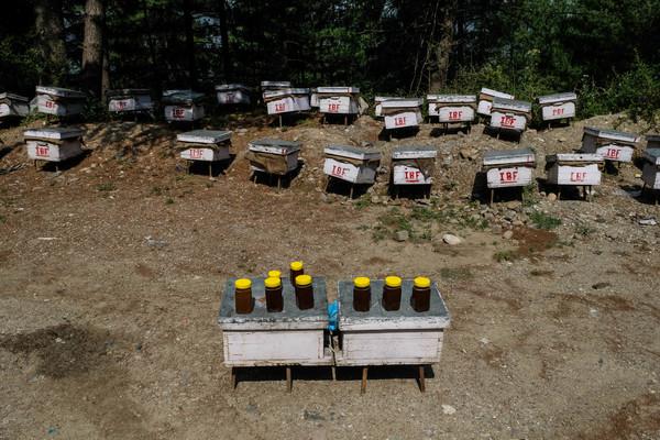 मधमाश्यांच्या वसाहती