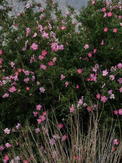 जंगली गुलाबाची झुडपं