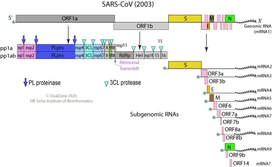 Coronavirus Genome
